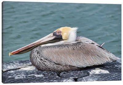 Brown pelican, New Smyrna Beach, Florida, USA Canvas Art Print