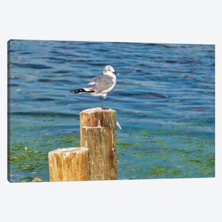 Seagull on a piling, Florida, USA Canvas Print #LEN7} by Lisa S. Engelbrecht Art Print