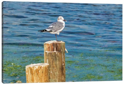 Seagull on a piling, Florida, USA Canvas Art Print