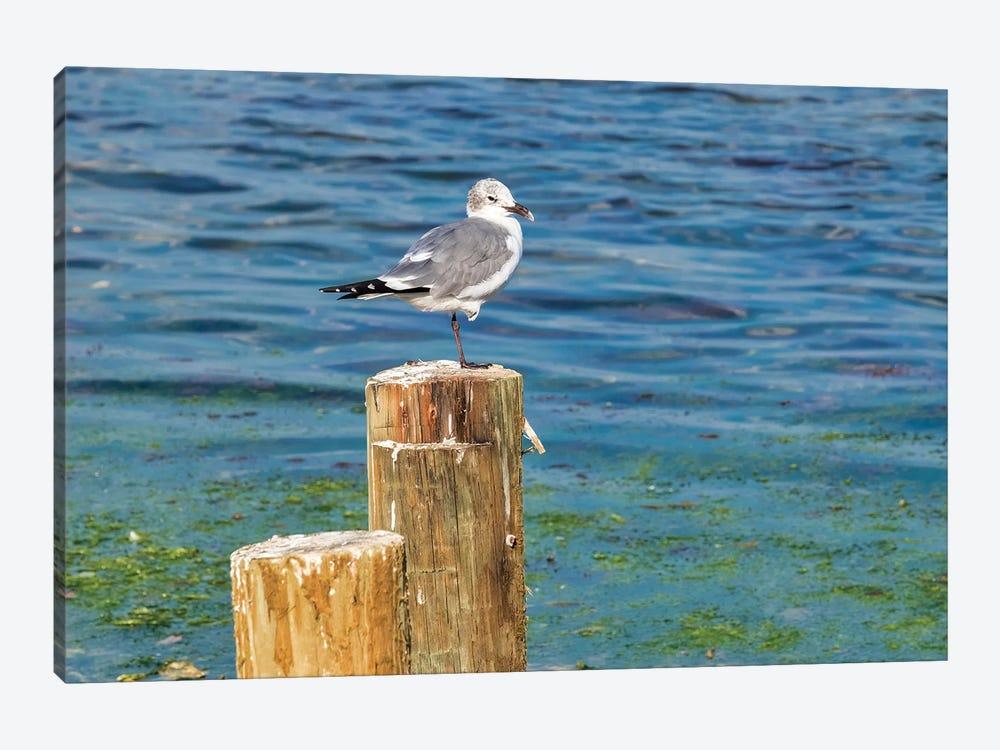 Seagull on a piling, Florida, USA by Lisa S. Engelbrecht 1-piece Canvas Print