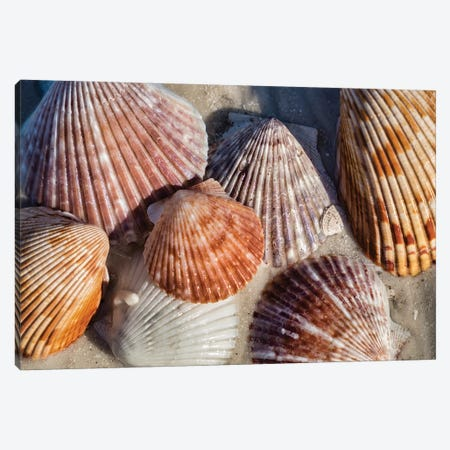 Seashells, Honeymoon Island State Park, Dunedin, Florida, USA Canvas Print #LEN8} by Lisa S. Engelbrecht Canvas Wall Art