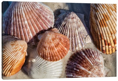 Seashells, Honeymoon Island State Park, Dunedin, Florida, USA Canvas Art Print