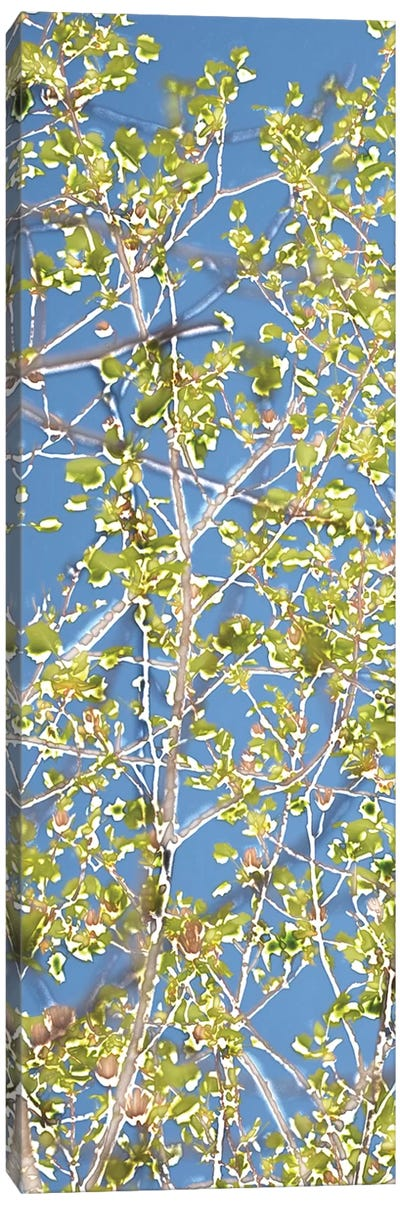 Spring Poplars I Canvas Art Print
