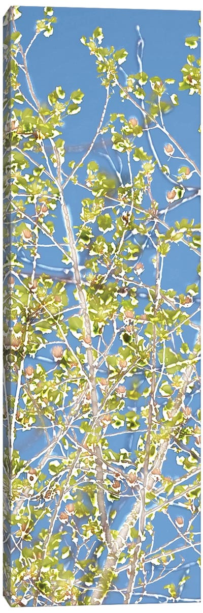 Spring Poplars II Canvas Art Print