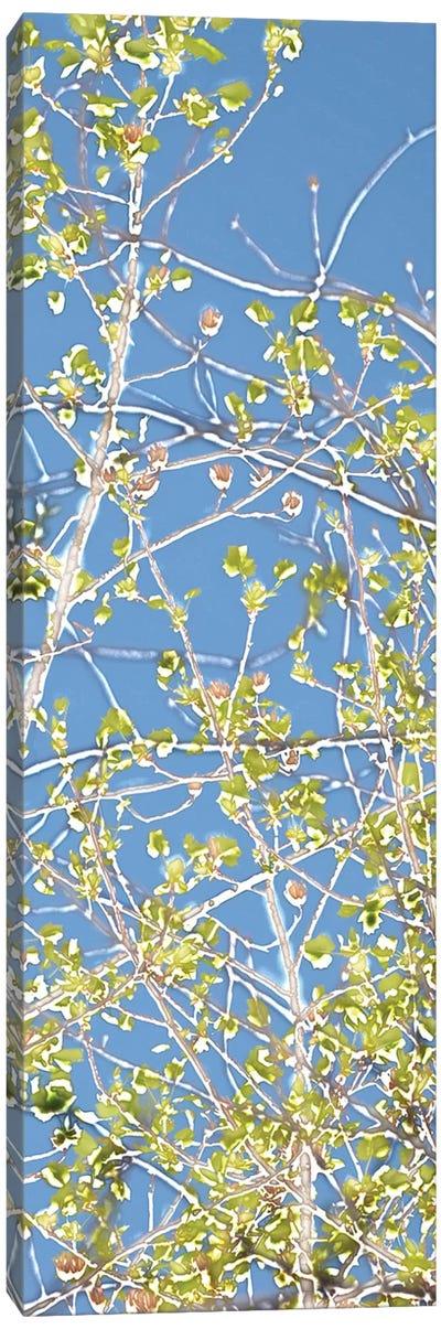 Spring Poplars III Canvas Art Print