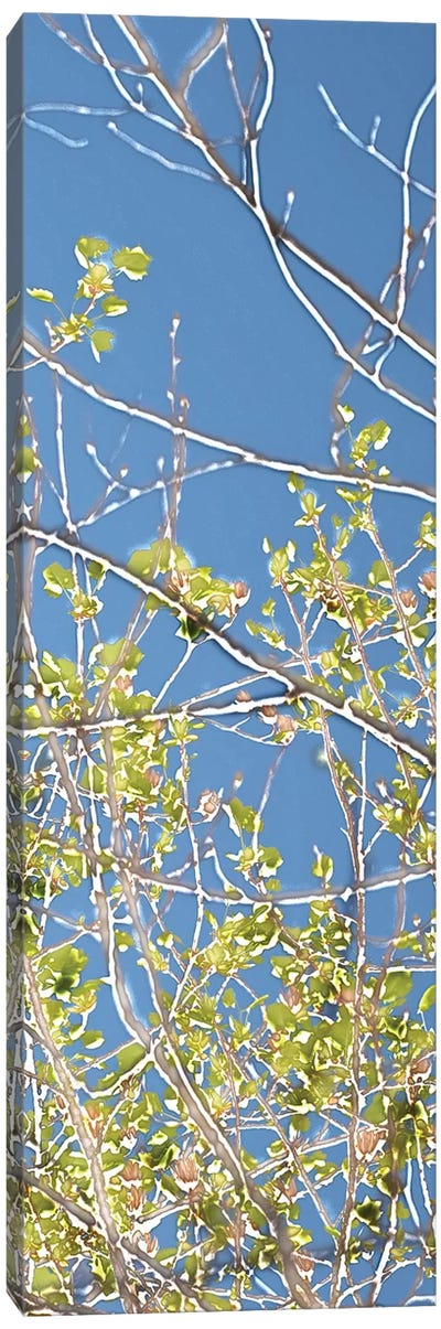 Spring Poplars IV Canvas Art Print