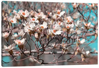 Dogwood Spring II Canvas Art Print