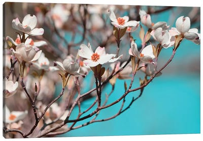 Dogwood Spring III Canvas Art Print