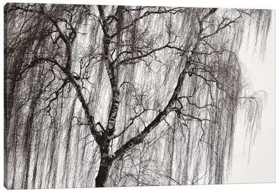 Birch Canvas Art Print