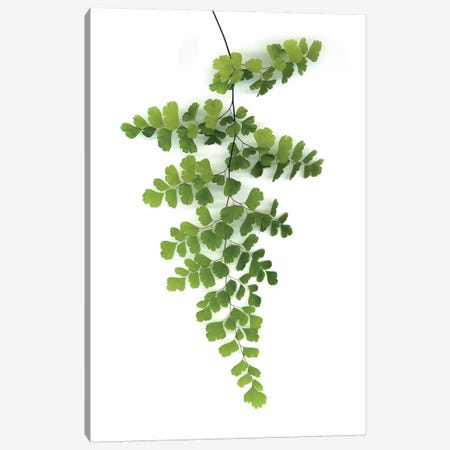 Green Maidenhair Canvas Print #LEX4} by Lexie Greer Canvas Art