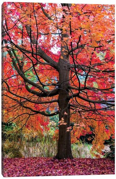 Marvelous Maple Canvas Art Print