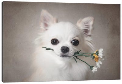 Chihuahua With Flowers Canvas Art Print