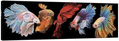 Beta Fish In Black Canvas Art Print