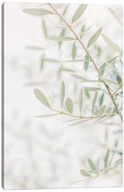 Olive Tree Closeup, Florence, Italy Canvas Art Print