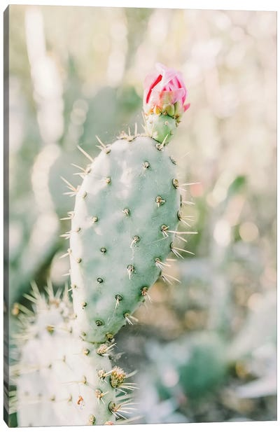 Prickly Pear Flower, Tuscon, Arizona Canvas Art Print