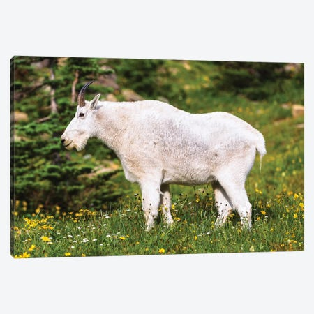 Glacier Goat Canvas Print #LNZ126} by Sergio Lanza Canvas Art