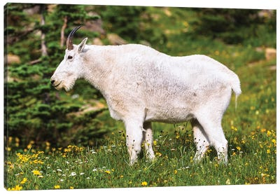 Glacier Goat Canvas Art Print