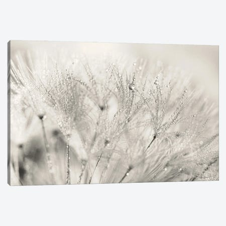 Dandelion Jewels II Canvas Print #LOD336} by Lori Deiter Canvas Print