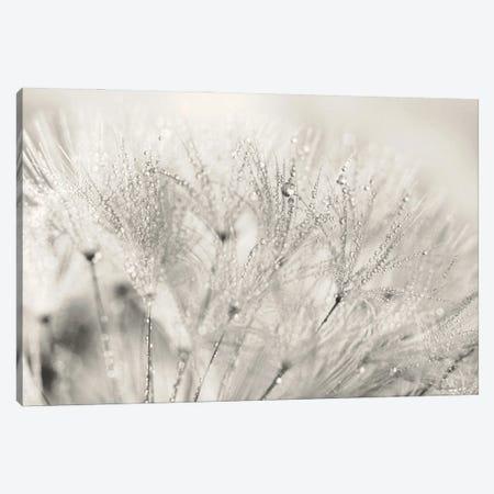 Dandelion Jewels II Canvas Print #LOD336} by Lori Deiter Canvas Print