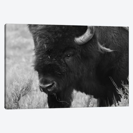 Yellowstone Bison Canvas Print #LOD350} by Lori Deiter Canvas Artwork