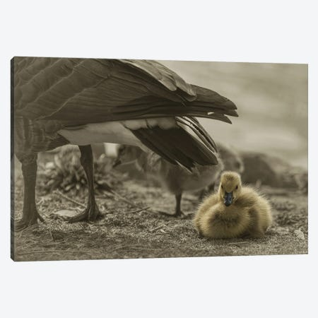 Under Mamas Wing Canvas Print #LRH115} by Louis Ruth Canvas Artwork