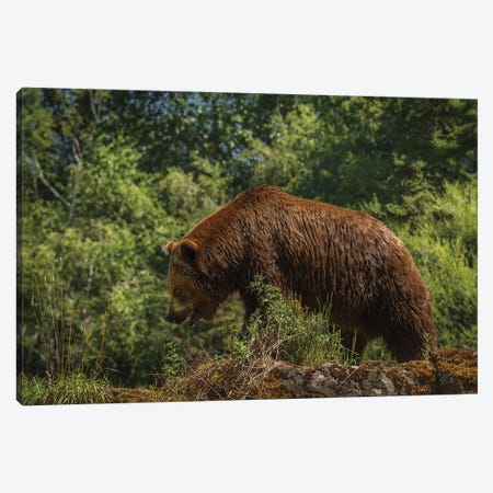 Bear Stroll Canvas Print #LRH125} by Louis Ruth Canvas Print