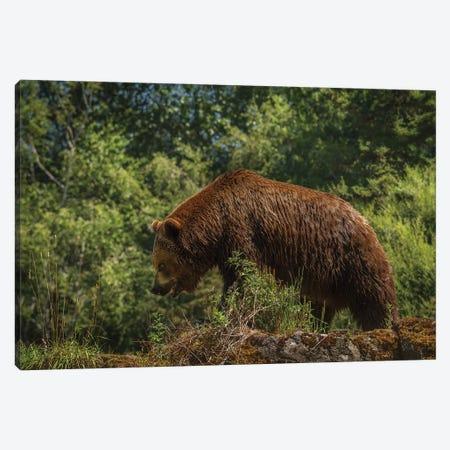 Bear Stroll Canvas Print #LRH125} by Louis Ruth Canvas Print