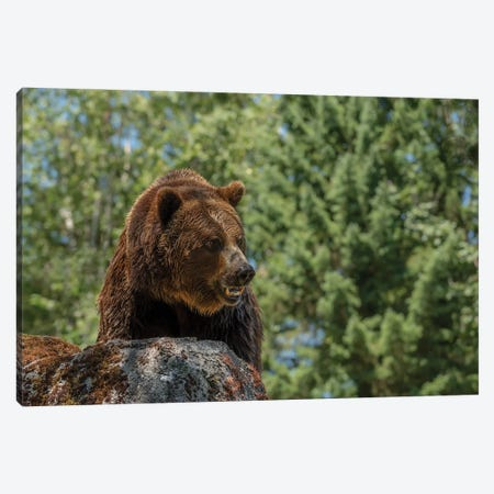 Brave Is The Grizzly Canvas Print #LRH127} by Louis Ruth Canvas Print