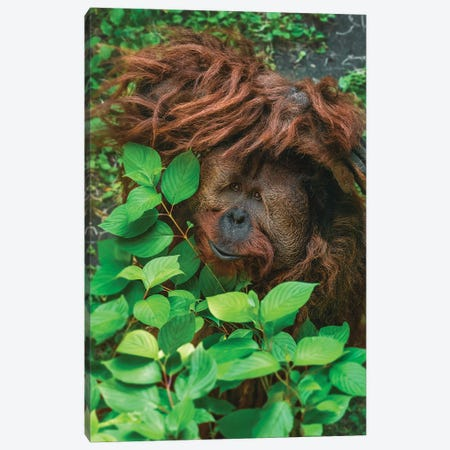 Hiding Orangutan Canvas Print #LRH138} by Louis Ruth Art Print