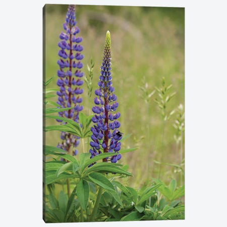 Lupine Beauty Canvas Print #LRH141} by Louis Ruth Canvas Artwork