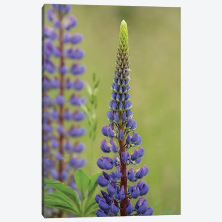 Lupine Beauty Three Canvas Print #LRH142} by Louis Ruth Canvas Artwork