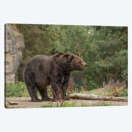 Brown Bear Canvas Print #LRH15} by Louis Ruth Canvas Art