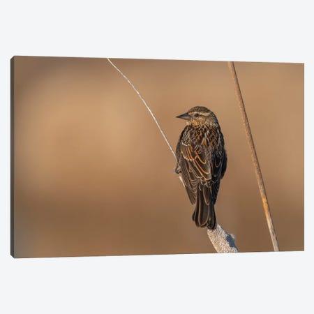 Beautiful Female Sparrow Canvas Print #LRH184} by Louis Ruth Canvas Art Print