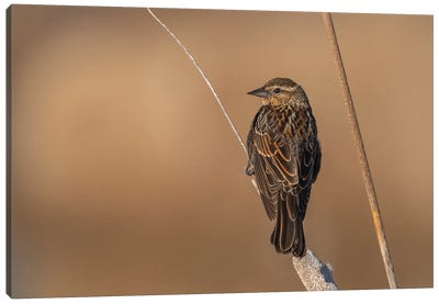 Beautiful Female Sparrow Canvas Art Print