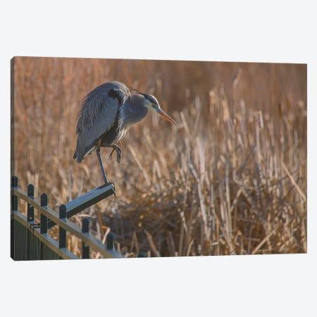 Blue Heron On Reader Board Canvas Print #LRH190} by Louis Ruth Canvas Print