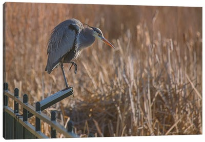 Blue Heron On Reader Board Canvas Art Print