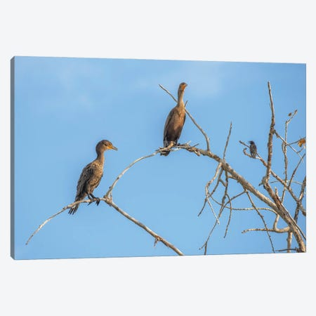 Bird Talk, Cormorants Canvas Print #LRH200} by Louis Ruth Canvas Art Print