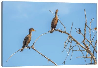 Bird Talk, Cormorants Canvas Art Print