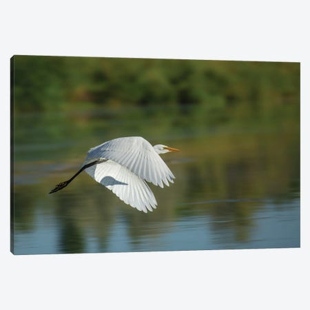 Egret In Motion Canvas Print #LRH205} by Louis Ruth Canvas Art