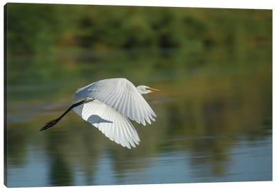 Egret In Motion Canvas Art Print