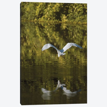 Egret Over Golden Waters Canvas Print #LRH209} by Louis Ruth Art Print