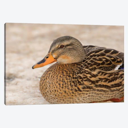 Mallard In Snow Canvas Print #LRH212} by Louis Ruth Canvas Wall Art