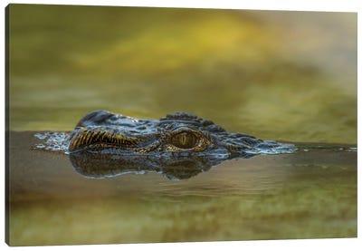Gator Up Canvas Art Print