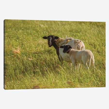 Grazing Ewe And Lamb Canvas Print #LRH226} by Louis Ruth Canvas Art