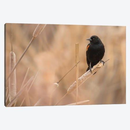 Male Red-Winged Blackbird On A Cattail Canvas Print #LRH228} by Louis Ruth Art Print