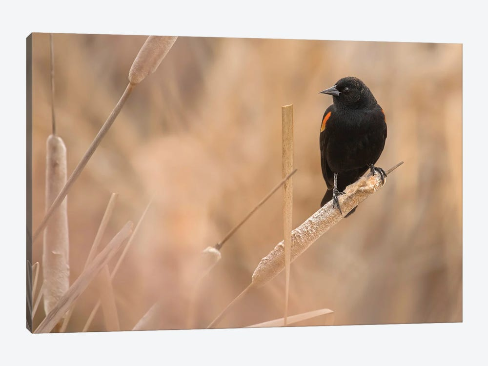 Male Red-Winged Blackbird On A Cattail by Louis Ruth 1-piece Canvas Art Print