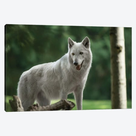 White Wolf Looking Canvas Print #LRH242} by Louis Ruth Art Print