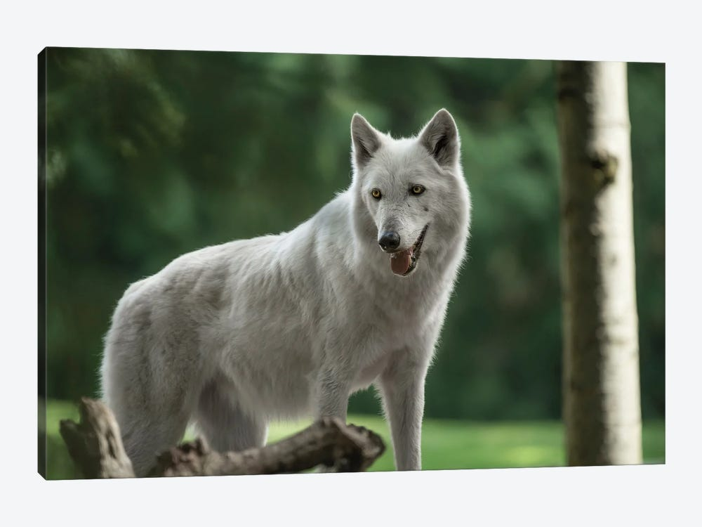 White Wolf Looking by Louis Ruth 1-piece Canvas Print