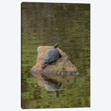 Turtle On Rock Canvas Print #LRH250} by Louis Ruth Canvas Artwork