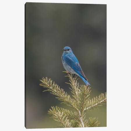 Mountain Bluebird On A Pine Tree Canvas Print #LRH253} by Louis Ruth Canvas Wall Art